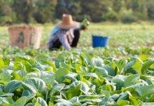 Lavoratore agricolo nei campi (foto repertorio Shutterstock)