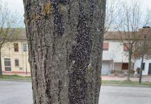 ammassi di cimici sui fusti degli alberi